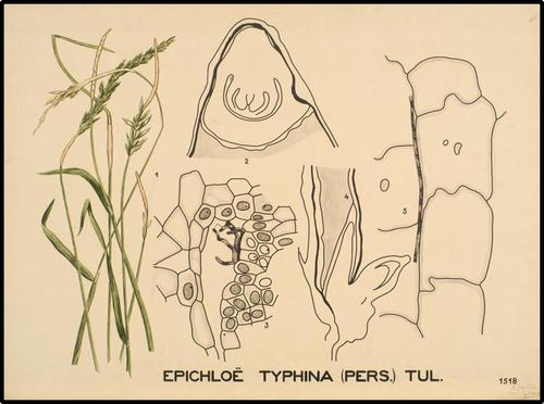 Epichloë typhina (Pers.) Tul.