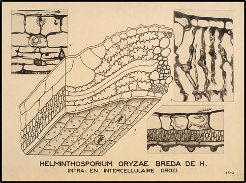 Helminthosporium oryzae Breda de H.