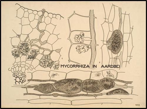 Mycorrhiza in Aardbei