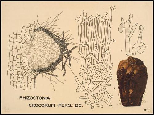 Rhizoctonia crocorum (Pers.) DC.