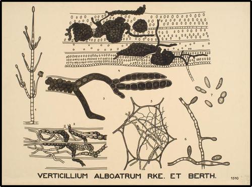 Verticillium alboatrum Rke. et Berth.