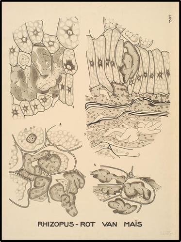 Rhizopus-rot van Maïs