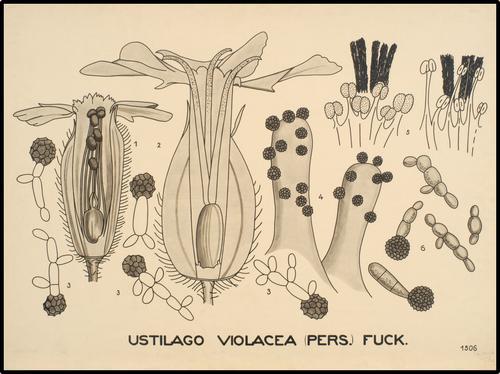 Ustilago violacea (Pers.) Fuck.