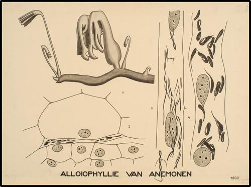 Alloiophyllie van Anemonen