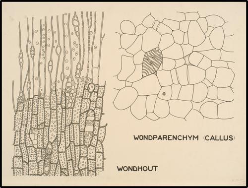 Wondparenchym (callus) - Wondhout