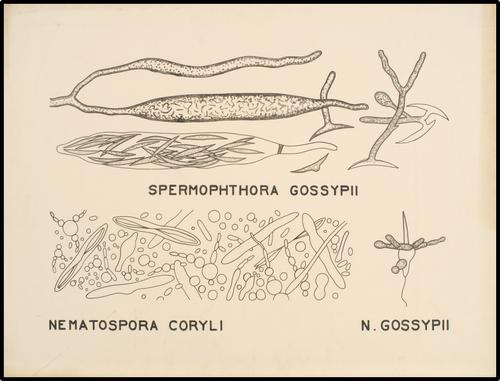 Spermophthora Gossypii