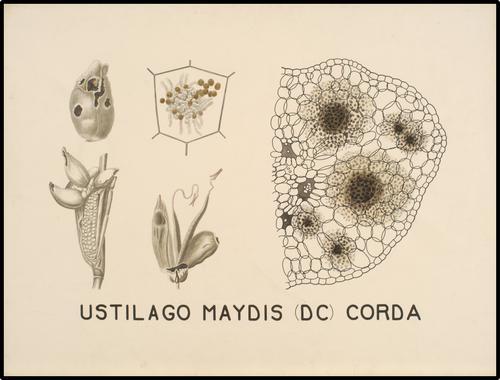 Ustilago Maydis (DC) Corda