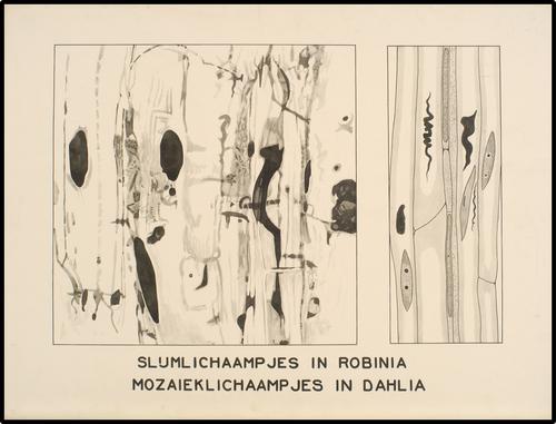 Slijmlichaampjes in Robinia - Mozaieklichaampjes in Dahlia