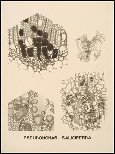 Pseudomonas Saliciperda