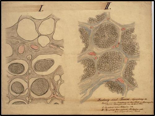 Ludwig und Tomsa, Lymphwege des Hodens und ihr Verhältnis zu den Blut- u. Samengefässe (Wiener Sitzungsberichte vom 24 April 1862)