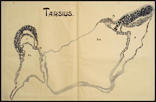 Tarsius.
