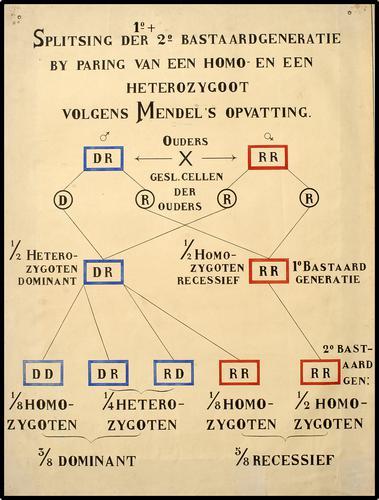 Splitsing der 1e en 2e Bastaardgeneratie by paring van een homo- en een heterozygoot volgens Mendel's opvatting.