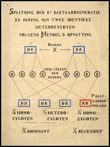 Splitsing der 1e Bastaardgeneratie by paring van twee identieke heterozygoten volgens Mendel's opvatting.