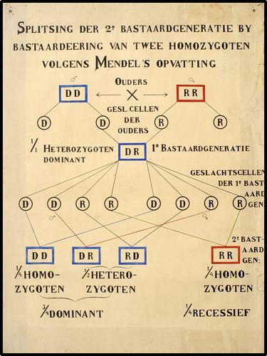 Splitsing der 2e Bastaardgeneratie by bastaardeering van twee homozygoten volgens Mendel's opvatting