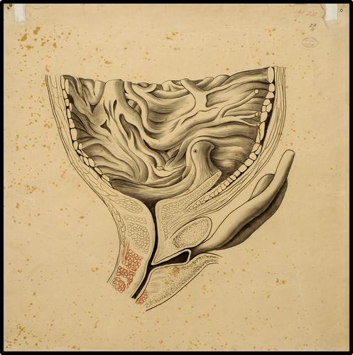 Organen - Bodem van de Blaas (mannelijk) dwarsdoorsnede