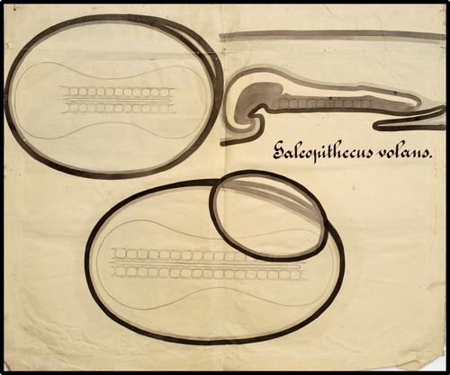 Onderwijsplaat met twee ontwikkelingsstadia van het embryo van Galeopithecus volans (Filipijnse vliegende kat)
