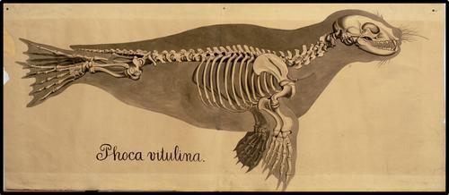 Phoca vitulina.
