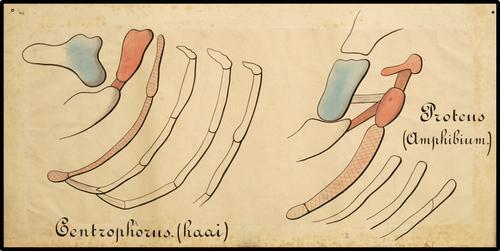 Centrophorus. (haai) : Proteus (Amphibium.)