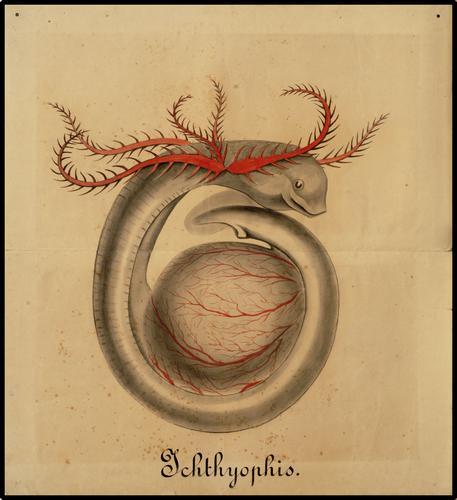 Ichthyophis.