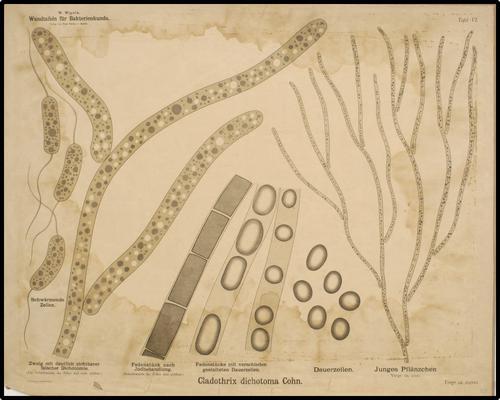 W. Migula, Wandtafeln für Bakterienkunde