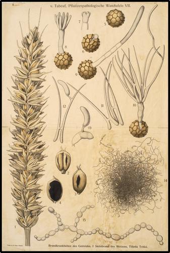 v. Tubeuf. Pflanzenpathologische Wandtafeln