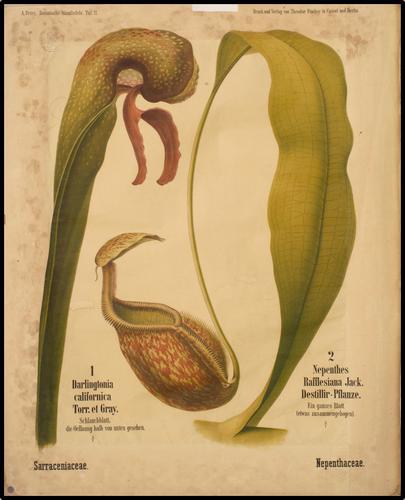 A. Peter, Botanische Wandtafeln