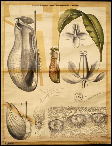 Botanische Wandtafeln von F.G. Kohl, serie I - Insektivore Pflanzen