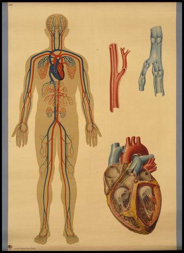 Der Blutkreislauf des Menschen