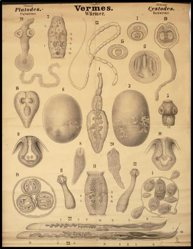 Dr. R. Leuckart und Dr. Nitsche: Zoologische Wandtafeln