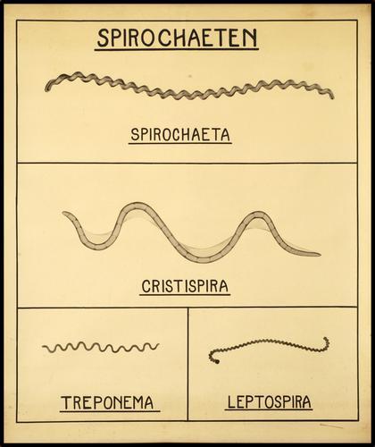 Afbeeldingen van verschillende Spirochaeten