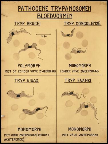 Pathogene trypanosomen. Bloedvormen