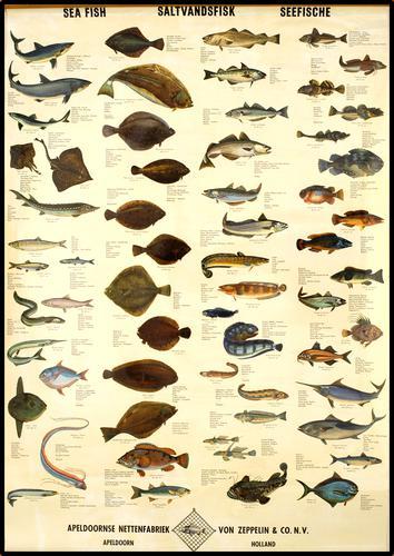 Sea fish : Saltvandfisk : Seefische