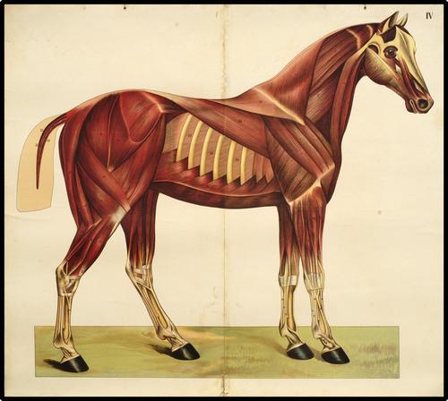 Onderwijsplaat met de spieren en pezen van het paard