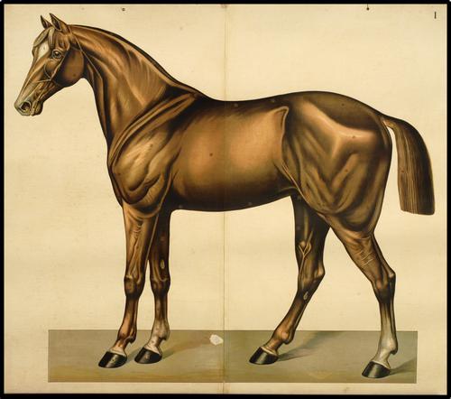 Onderwijsplaat van het paard ten voeten uit