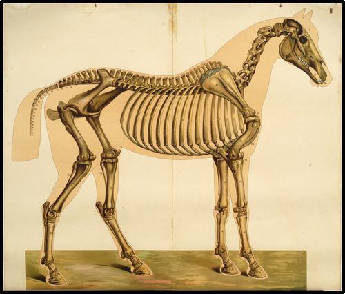 Onderwijsplaat van het beenderstelsel van het paard