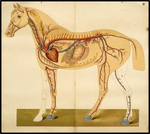 Onderwijsplaat van het hart- en vaatstelsel van het paard