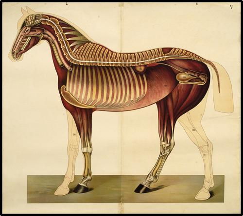 Onderwijsplaat van de globale anatomie van het paard