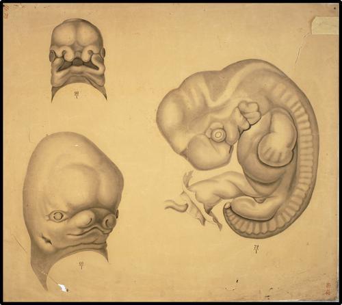 Onderwijsplaat embryologie