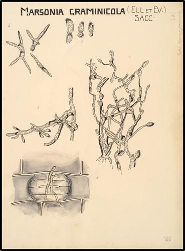 Marsonia graminicola