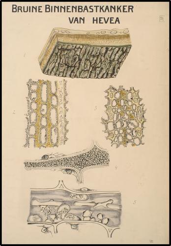 Bruine Binnenbastkanker van Hevea