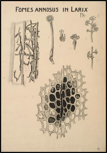 Fomes Annosus in Larix
