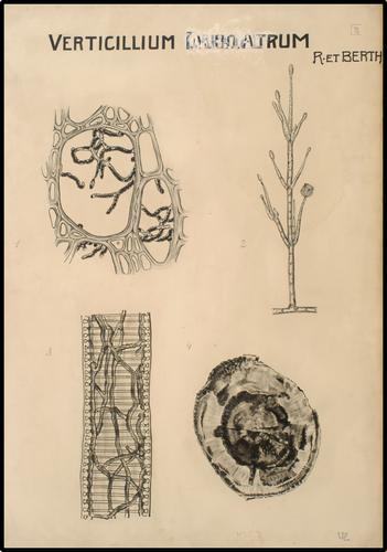 Verticillium Dahliactrum