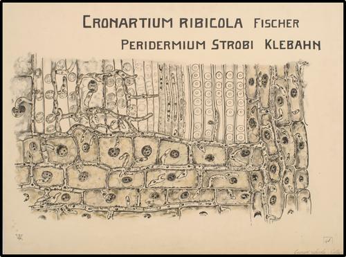 Cronartium Ribicola Fischer Peridermium Strobi Klebahn