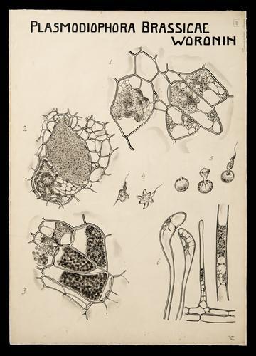 Plasmodiophora brassicae Woronin