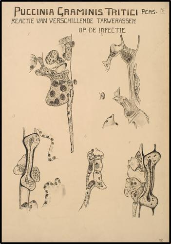 Reactie van verschillende tarwerassen op de infectie met Puccinia Graminis Tritici Pers