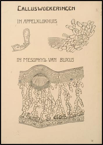 Calluswoekeringen in appelklokhuis in mesophyll van buxus
