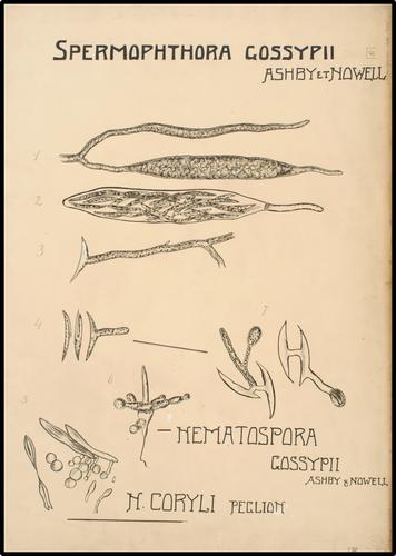 Spermophthora gossypii Ashby et Nowell