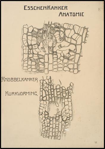 Esschenkanker Anatomie