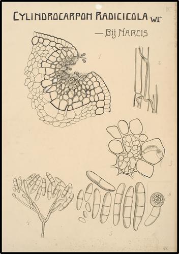 Cylindrocarpon Radicicola bij Narcis