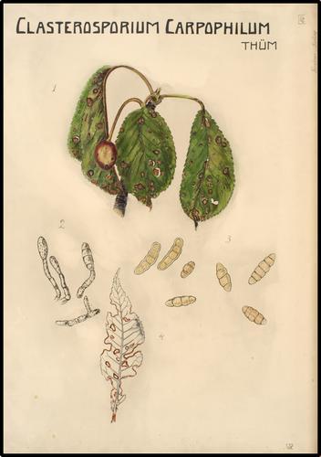 Clasterosporium Carpophilum Thüm